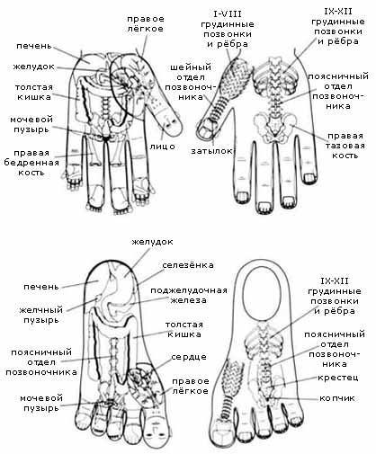 Стандартная схема соответствия внутренним органам и скелету на левых кисти и стопе в Су Джок терапии.